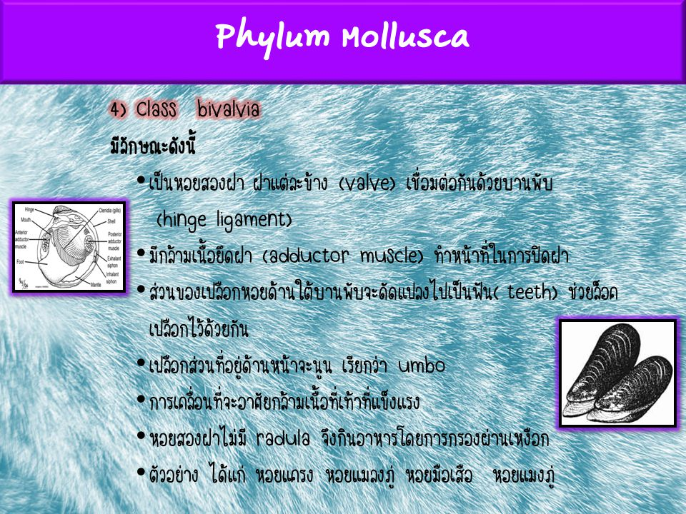 Phylum Mollusca 4) Class bivalvia มีลักษณะดังนี้