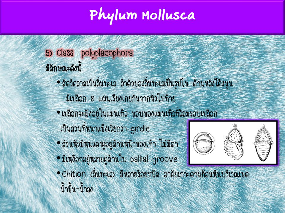 Phylum Mollusca 5) Class polyplacophora มีลักษณะดังนี้