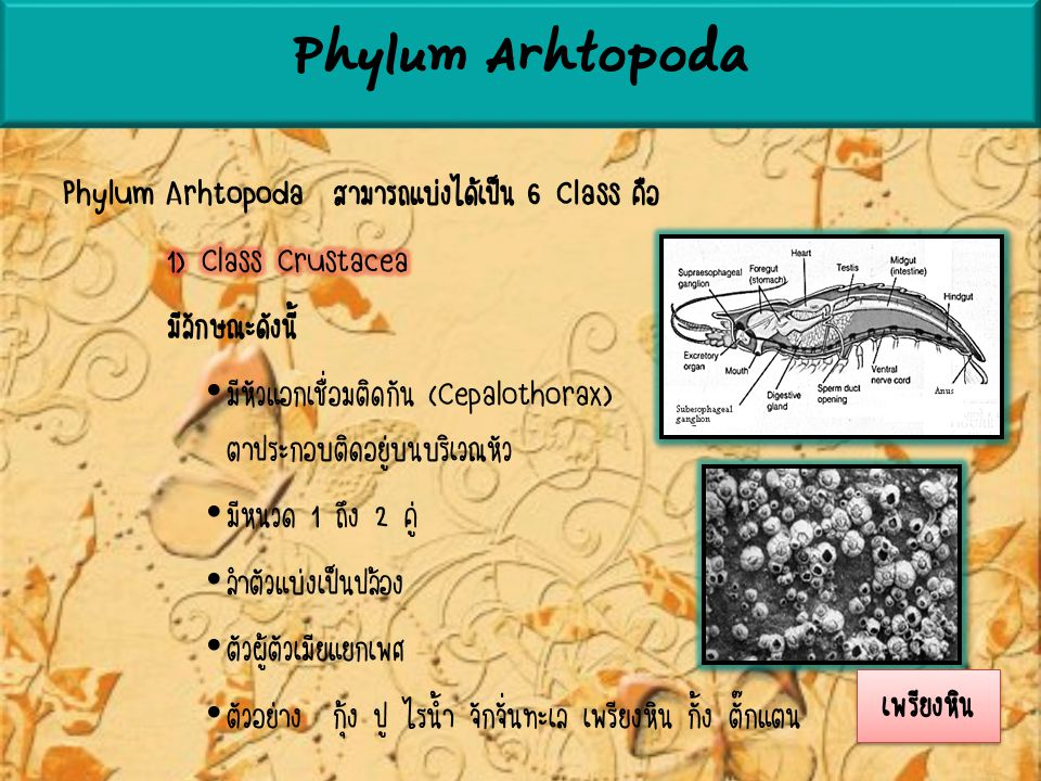 Phylum Arhtopoda Phylum Arhtopoda สามารถแบ่งได้เป็น 6 Class คือ