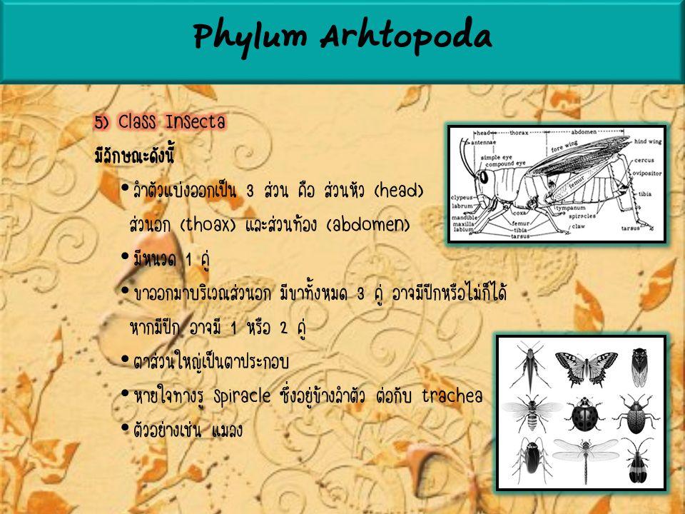 Phylum Arhtopoda 5) Class Insecta มีลักษณะดังนี้