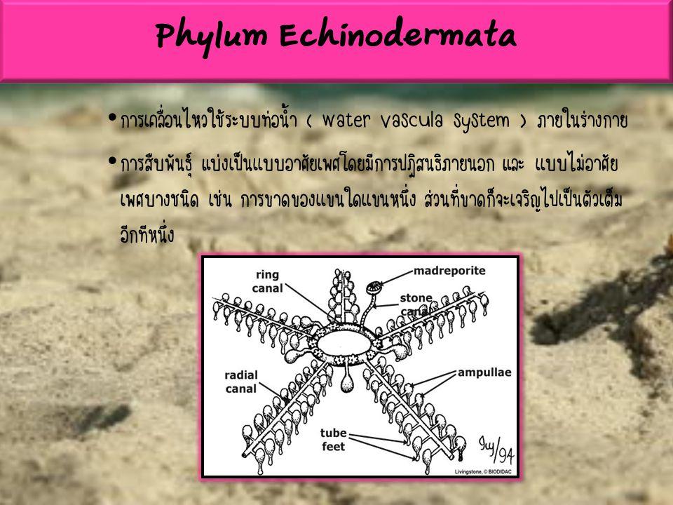 Phylum Echinodermata การเคลื่อนไหวใช้ระบบท่อน้ำ ( water vascula system ) ภายในร่างกาย.