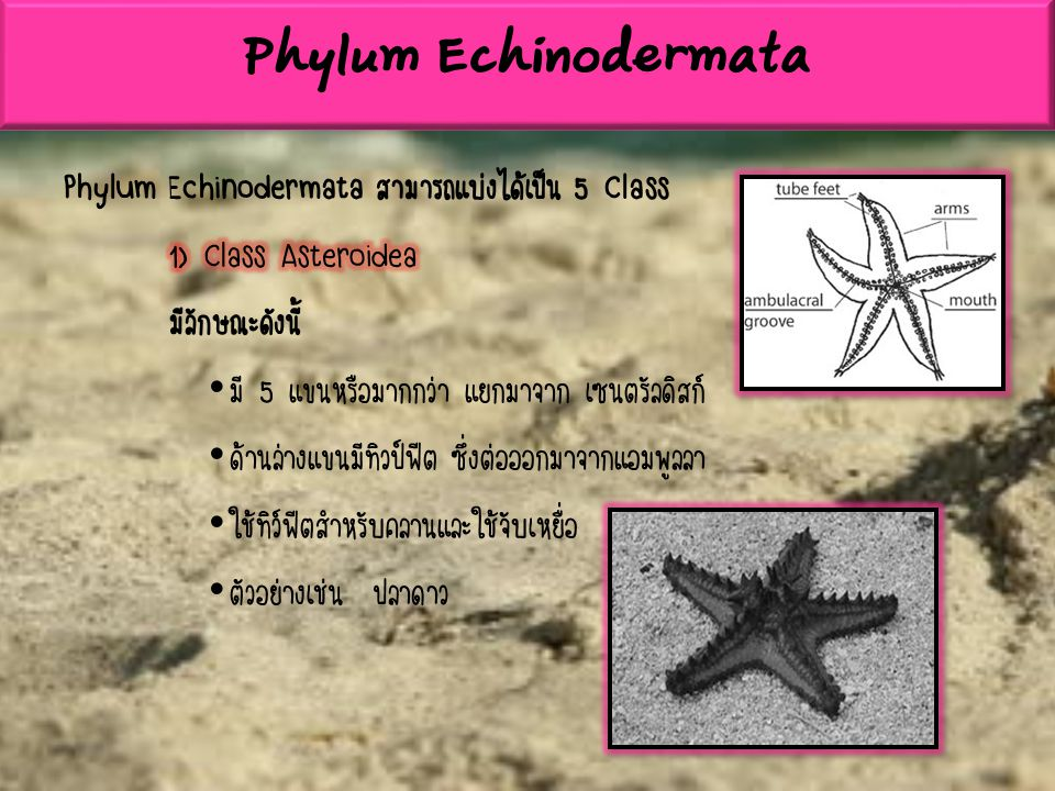 Phylum Echinodermata Phylum Echinodermata สามารถแบ่งได้เป็น 5 Class