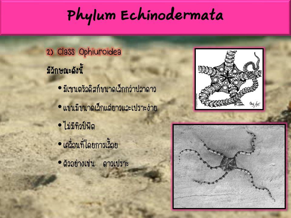 Phylum Echinodermata 2) Class Ophiuroidea มีลักษณะดังนี้