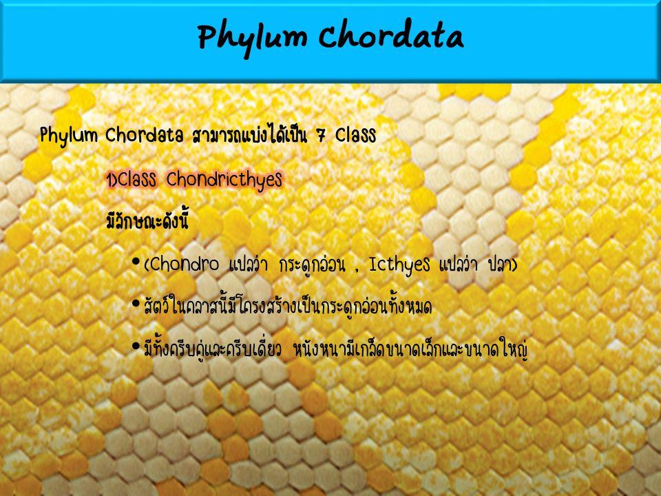 Phylum Chordata Phylum Chordata สามารถแบ่งได้เป็น 7 Class