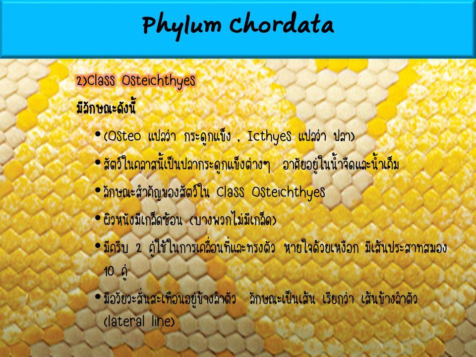Phylum Chordata 2)Class Osteichthyes มีลักษณะดังนี้