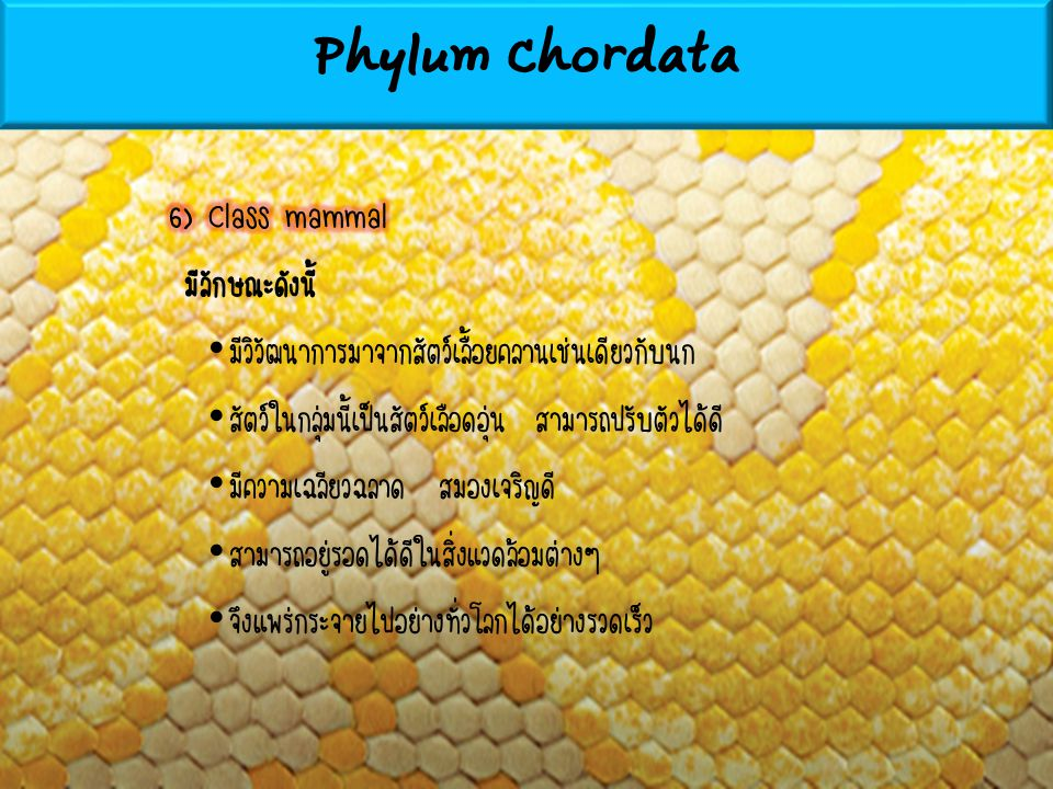 Phylum Chordata 6) Class mammal มีลักษณะดังนี้