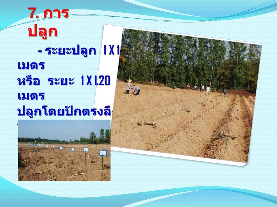 7. การปลูก - ระยะปลูก 1 X 1 เมตร หรือ ระยะ 1 X 1.20 เมตร