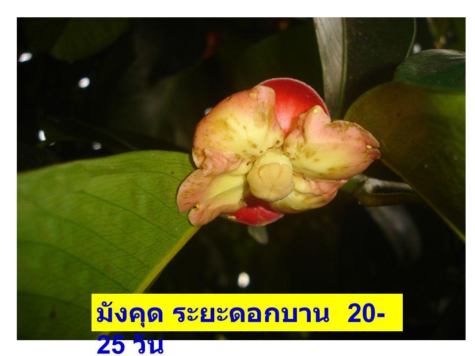 มังคุด ระยะดอกบาน 20-25 วัน