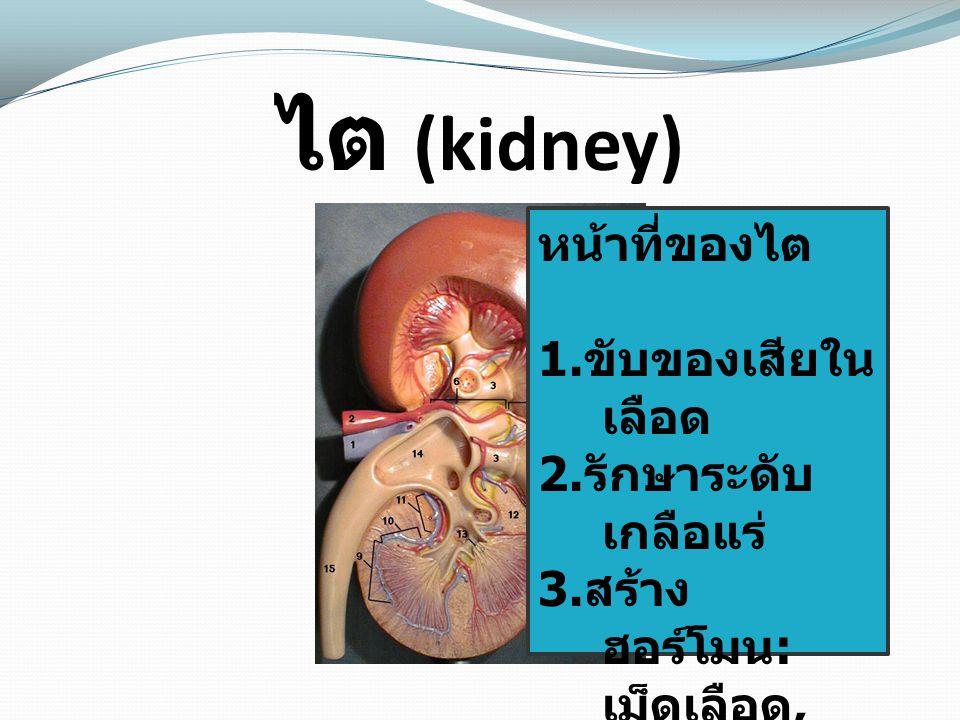 ไต (kidney) หน้าที่ของไต 1.ขับของเสียในเลือด 2.รักษาระดับเกลือแร่