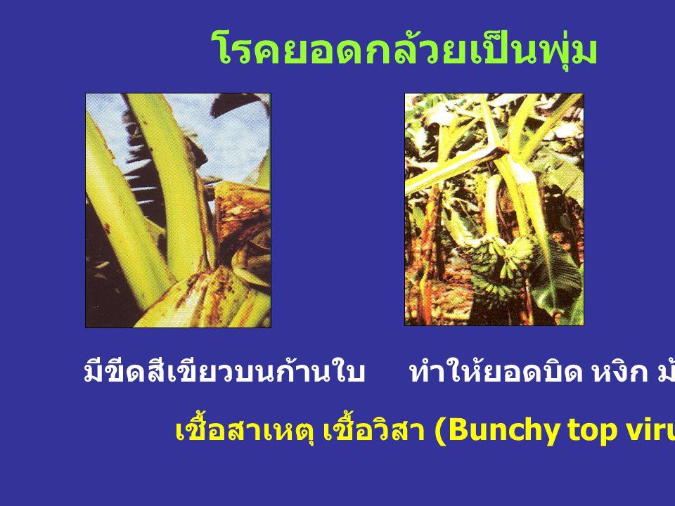 โรคยอดกล้วยเป็นพุ่ม มีขีดสีเขียวบนก้านใบ ทำให้ยอดบิด หงิก ม้วน