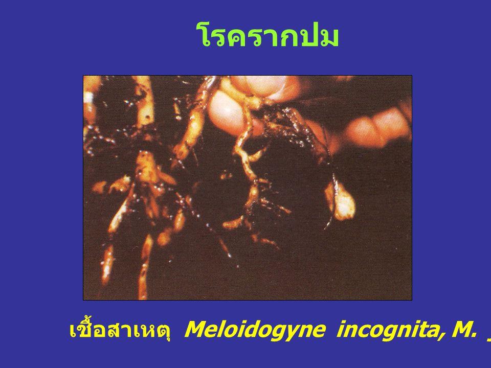 โรครากปม เชื้อสาเหตุ Meloidogyne incognita, M. javane, M. arenaria