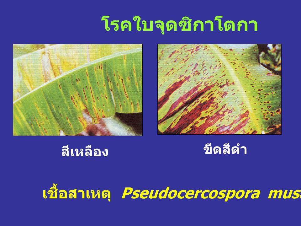 โรคใบจุดซิกาโตกา เชื้อสาเหตุ Pseudocercospora musae (A. Zimmerm.)