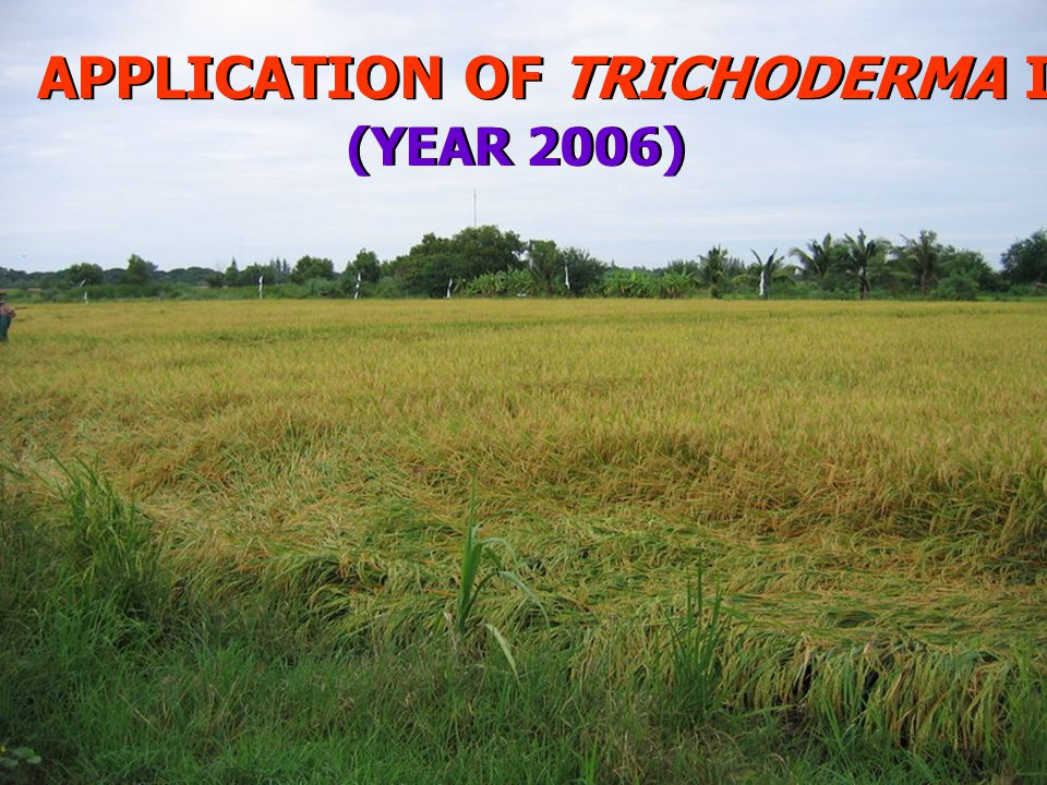 APPLICATION OF TRICHODERMA IN THE RICE FIELD