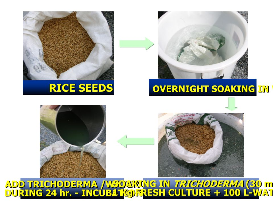 RICE SEEDS OVERNIGHT SOAKING IN WATER ADD TRICHODERMA /WATER