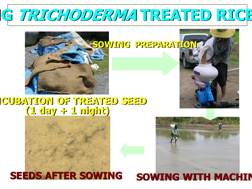 SOWING TRICHODERMA TREATED RICE SEEDS INCUBATION OF TREATED SEED