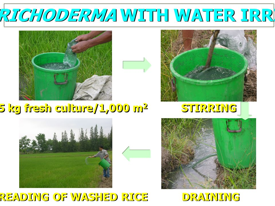APPLY TRICHODERMA WITH WATER IRRIGATION