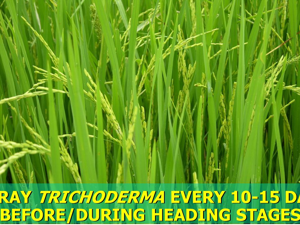 SPRAY TRICHODERMA EVERY 10-15 DAY BEFORE/DURING HEADING STAGES