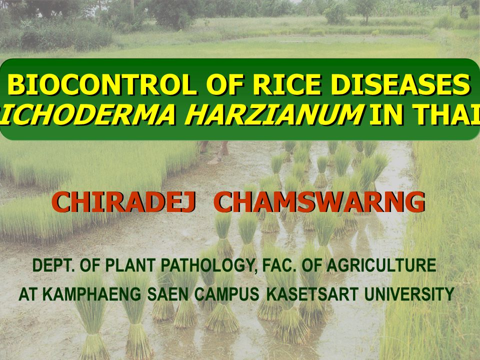 BIOCONTROL OF RICE DISEASES By TRICHODERMA HARZIANUM IN THAILAND