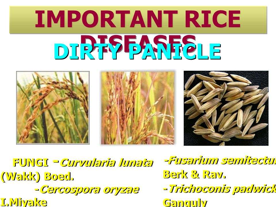 IMPORTANT RICE DISEASES