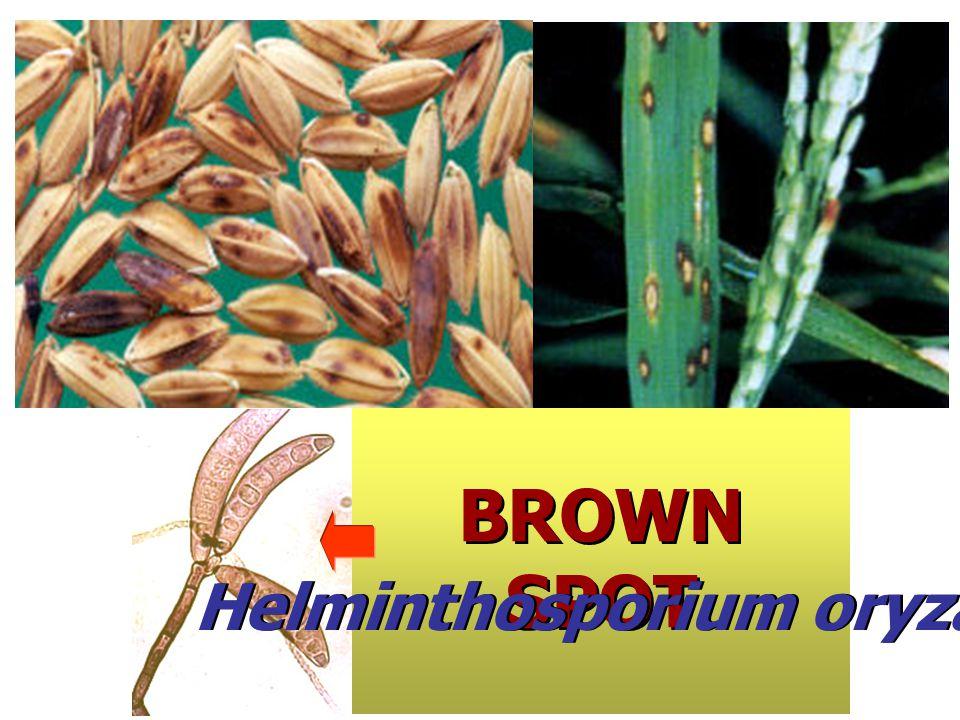 Helminthosporium oryzae