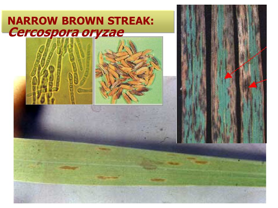 NARROW BROWN STREAK: Cercospora oryzae