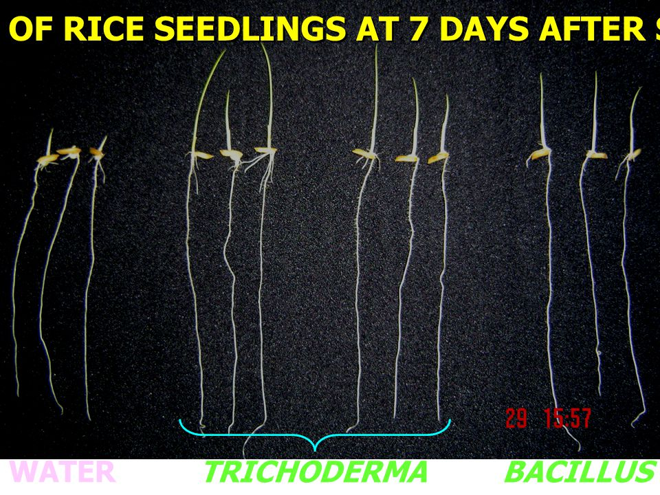 GROWTH OF RICE SEEDLINGS AT 7 DAYS AFTER SOAKING