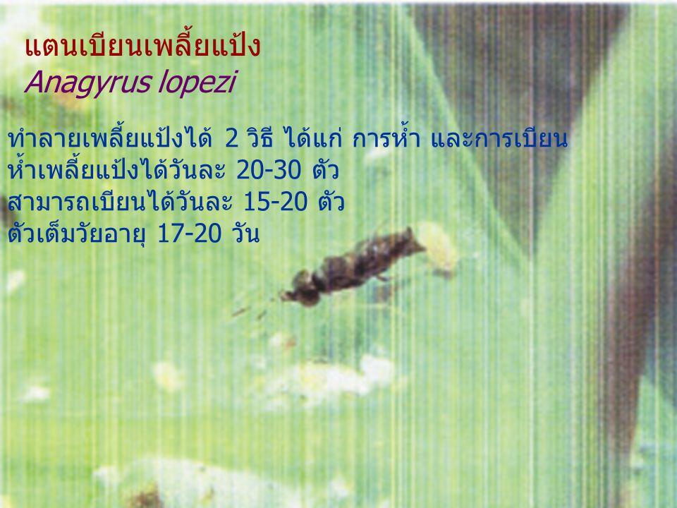 แตนเบียนเพลี้ยแป้ง Anagyrus lopezi