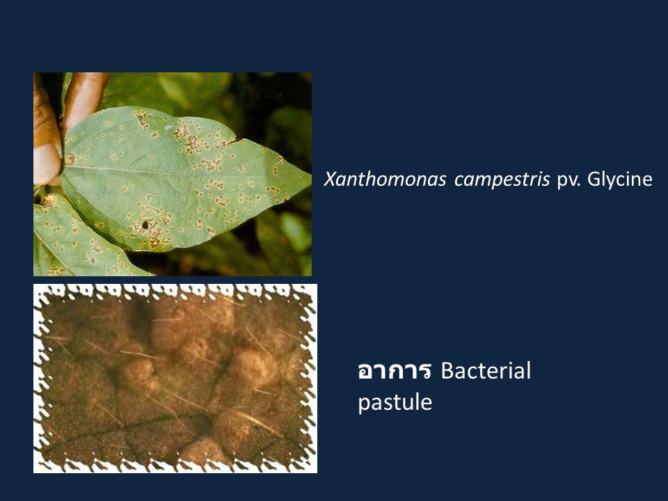 อาการ Bacterial pastule