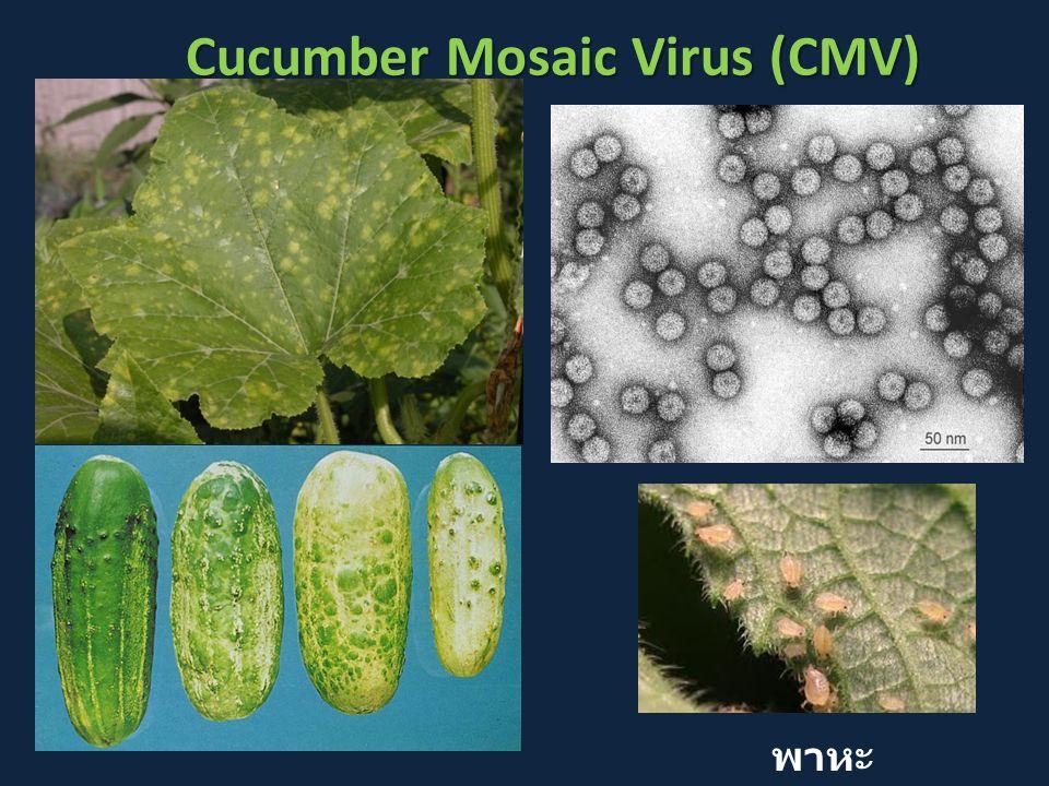 Cucumber Mosaic Virus (CMV)
