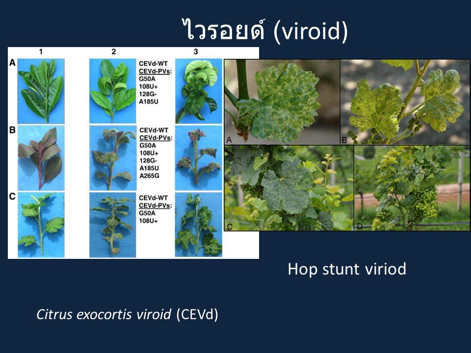 ไวรอยด์ (viroid) Hop stunt viriod Citrus exocortis viroid (CEVd)