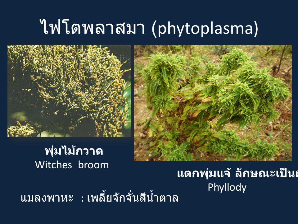 ไฟโตพลาสมา (phytoplasma)