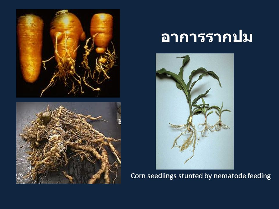อาการรากปม Corn seedlings stunted by nematode feeding