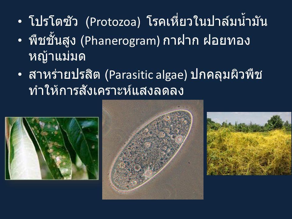 โปรโตซัว (Protozoa) โรคเหี่ยวในปาล์มน้ำมัน
