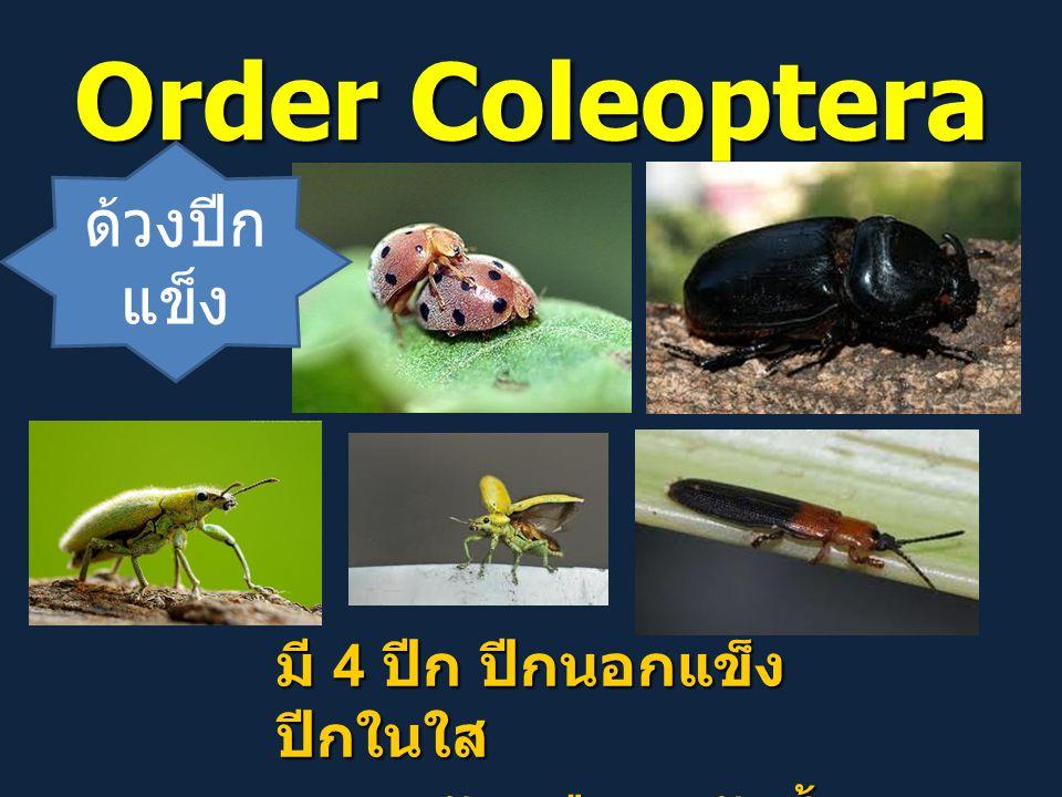 Order Coleoptera ด้วงปีกแข็ง