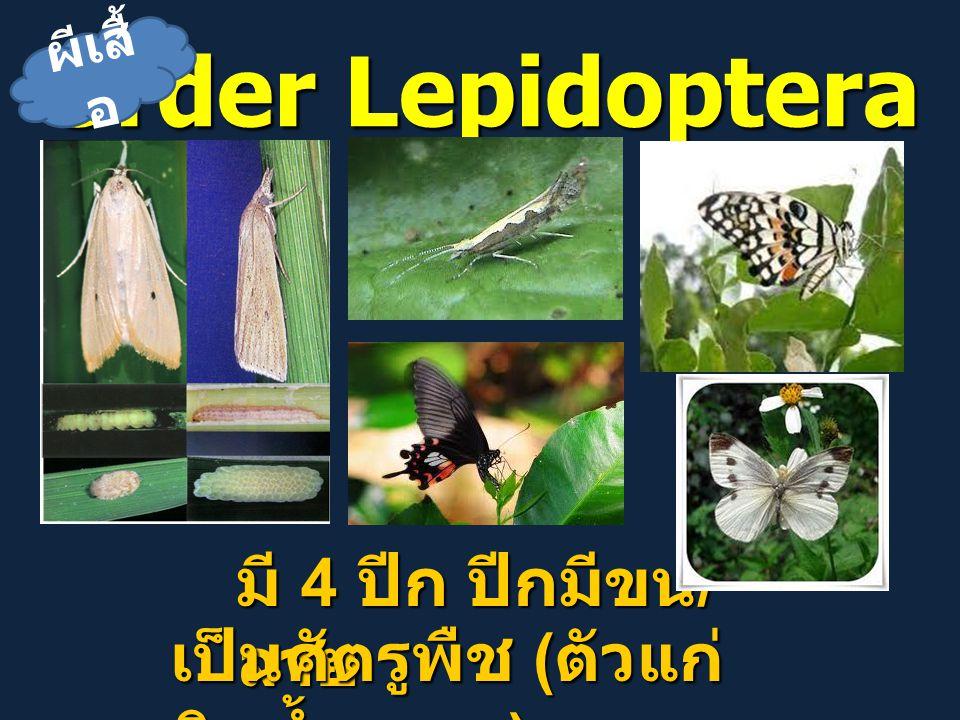 Order Lepidoptera มี 4 ปีก ปีกมีขน/ลาย เป็นศัตรูพืช (ตัวแก่กินน้ำหวาน)