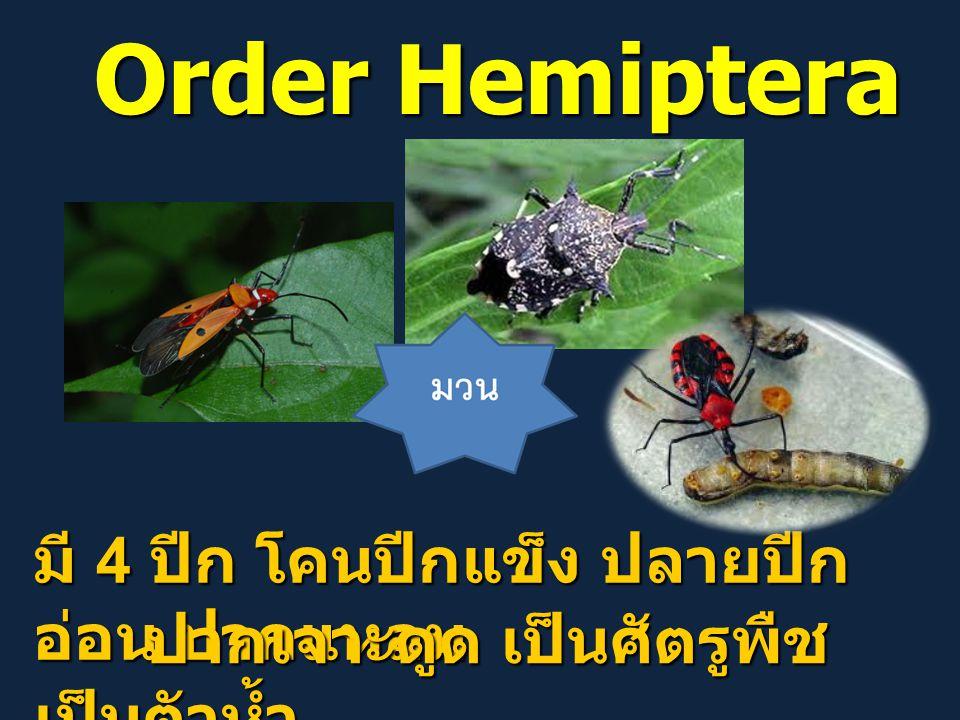 Order Hemiptera มี 4 ปีก โคนปีกแข็ง ปลายปีกอ่อน ปากแหลม