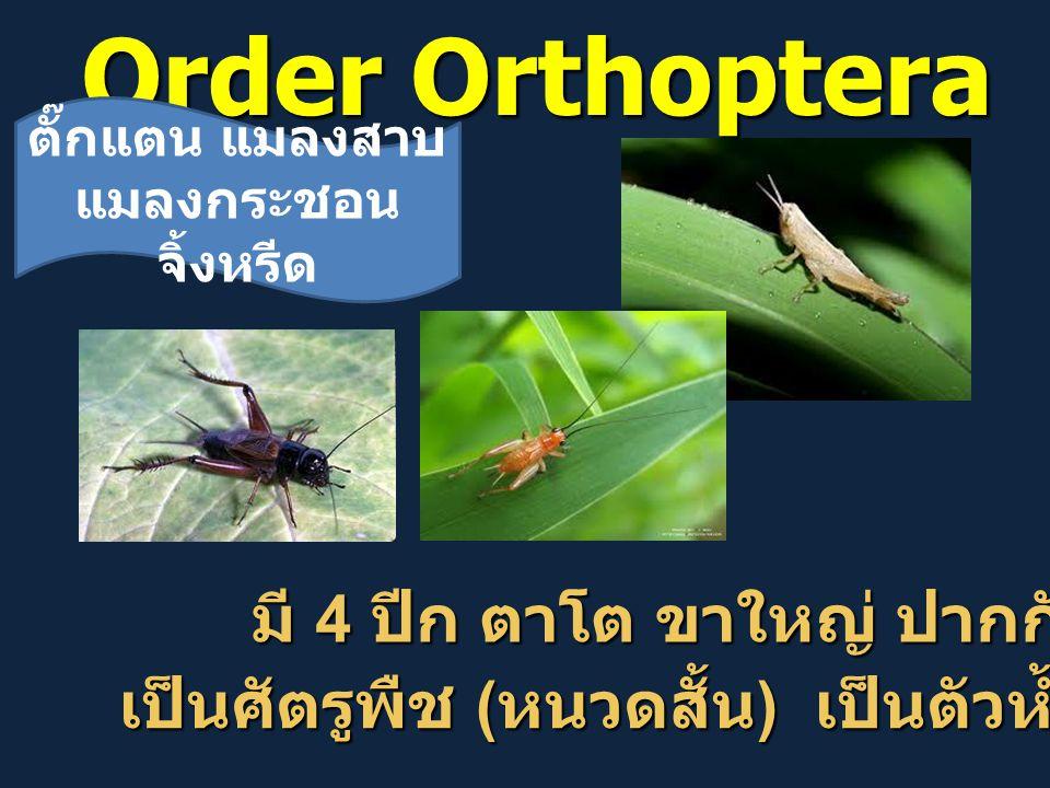 Order Orthoptera มี 4 ปีก ตาโต ขาใหญ่ ปากกัด