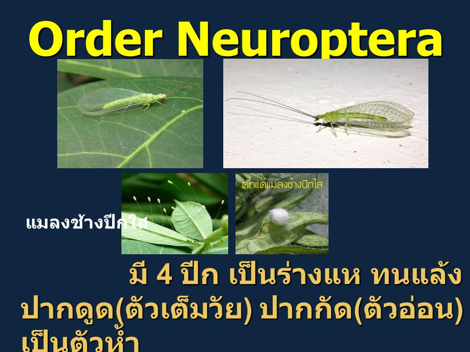 Order Neuroptera มี 4 ปีก เป็นร่างแห ทนแล้ง