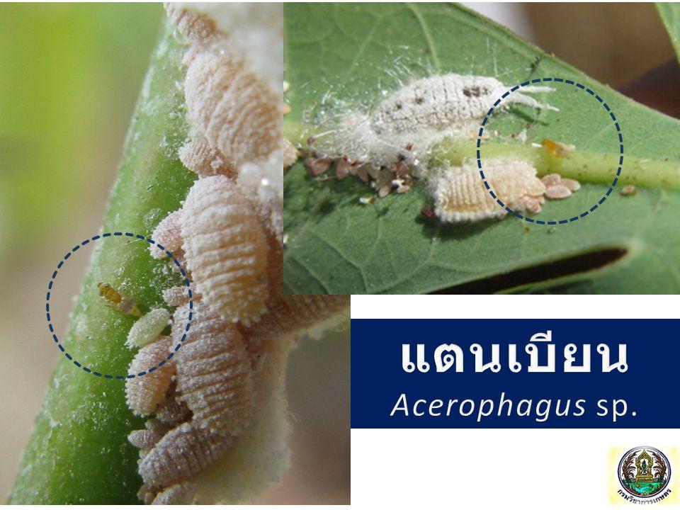 แตนเบียน Acerophagus sp.