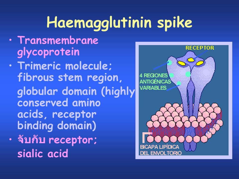 Haemagglutinin spike Transmembrane glycoprotein