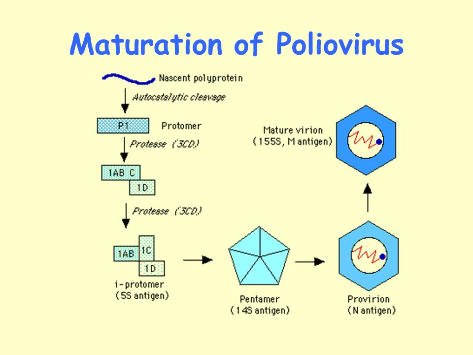 Maturation of Poliovirus