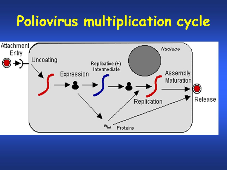 Poliovirus multiplication cycle