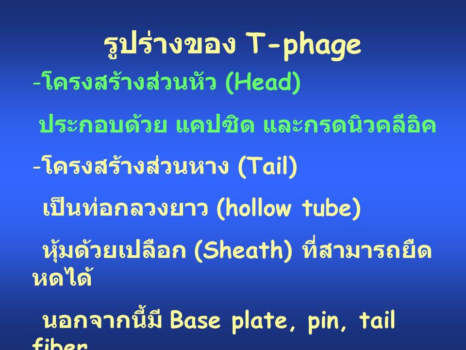 รูปร่างของ T-phage โครงสร้างส่วนหัว (Head)