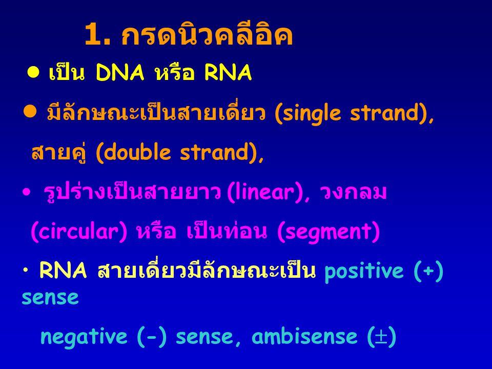 1. กรดนิวคลีอิค • มีลักษณะเป็นสายเดี่ยว (single strand),
