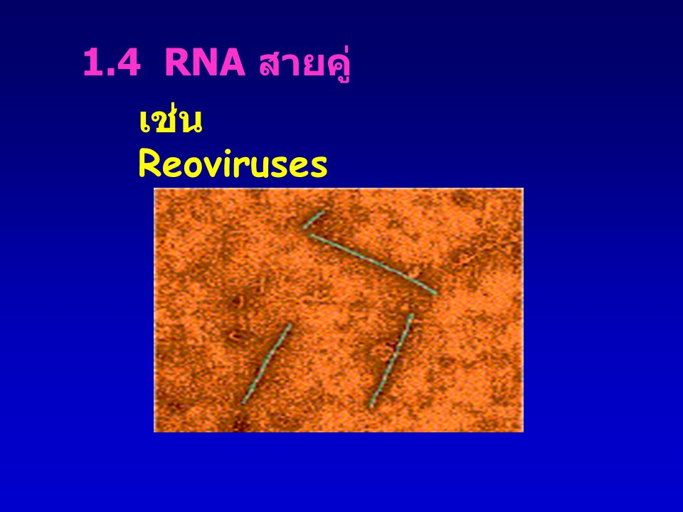 1.4 RNA สายคู่ เช่น Reoviruses