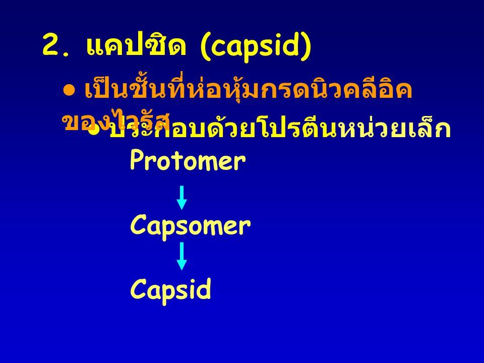 2. แคปซิด (capsid) Protomer Capsomer Capsid