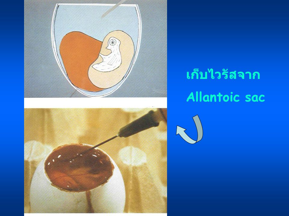 เก็บไวรัสจาก Allantoic sac