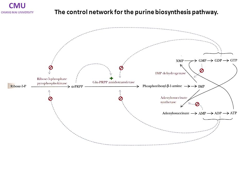 CMU The control network for the purine biosynthesis pathway.