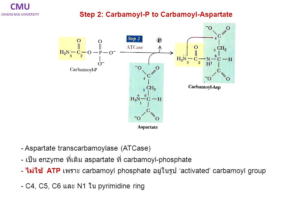 CMU Step 2: Carbamoyl-P to Carbamoyl-Aspartate