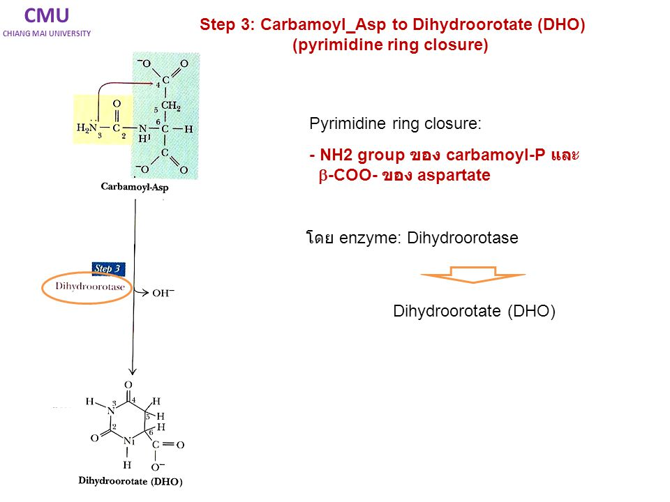 CMU Step 3: Carbamoyl_Asp to Dihydroorotate (DHO)